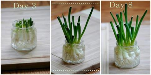 2 cách trồng hành đơn giản tại nhà, đảm bảo cả năm ăn không hết