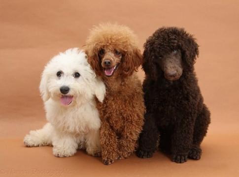 Chó cưng - con vật đem may mắn nhưng cần lưu ý phong thủy
