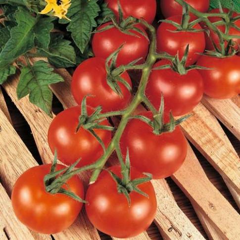 Choáng váng với giống cà chua bạch tuộc cho năng suất... 32.000 quả/ vụ