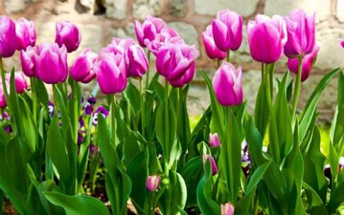 Kỹ thuật trồng hoa Tulip trổ bông 100% để kịp trang trí nhà đón Tết
