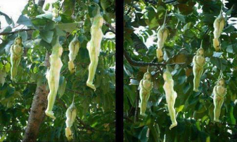 Sự thật về loại cây kỳ lạ có quả hình cô gái khỏa thân