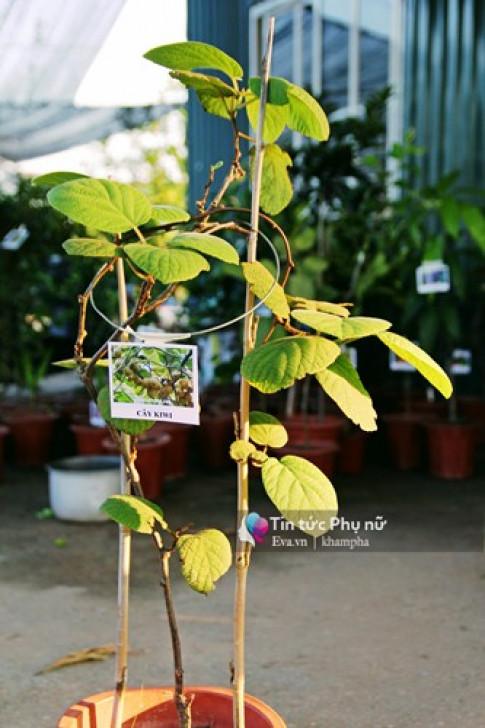 Tự trồng kiwi sai lúc lỉu tại nhà chẳng còn khó tại Việt Nam