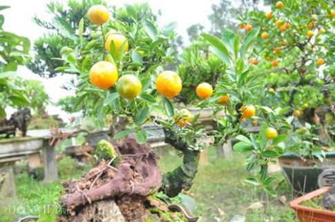 Vườn quất ghép cần thăng bonsai Đinh Dậu độc nhất vô nhị ở Thủ đô