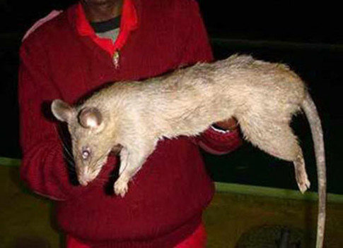 Mẹ bỏ đi chơi, bé sơ sinh 3 tháng ở nhà một mình bị chuột khổng lồ cắn tử vong