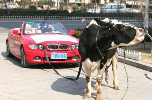 Dùng bò kéo xế sang - cách xả giận 'kiểu' Trung Quốc