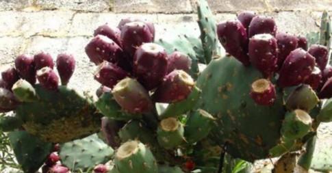 Không ngờ loại cây toàn gai góc, tưởng không thể ăn được lại cho loại quả cực ngon, bổ dưỡng